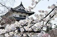 弘前さくらまつりで咲き誇る桜=弘前公園で2018年4月21日、北山夏帆撮影