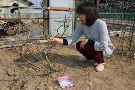 亡き娘と同じ名前のバラ「美咲」の世話をする片山令子さん=福島県相馬市で、木下翔太郎撮影