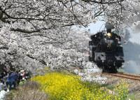 真岡鉄道:真岡鉄道沿いでは、満開のサクラと菜の花、蒸気機関車の共演が楽しめる=真岡市東郷で2018年3月31日午前11時16分、野田樹撮影