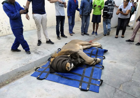 In this photo taken on March 13, 2019, a captured lion is seen sedated in a police cell in Sutherland, South Africa. (AP Photo)