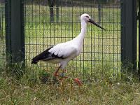 ドイツへ譲渡されるコウノトリの1羽=兵庫県豊岡市の県立コウノトリの郷公園で、同園提供