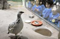 初公開されたニホンライチョウ=石川県能美市徳山町のいしかわ動物園で、日向梓撮影