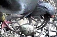 中国から贈られた関関との卵を見守る雄のトキ=佐渡トキ保護センター提供