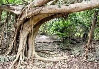 原生樹の印象が強烈な御嶽。社殿やほこらはない=沖縄県宮古島市で、伊藤和史撮影