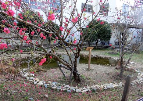 ハート池に咲く梅