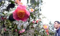 来園者を楽しませるツバキ=広島県福山市沼隈町中山南の平家谷つばき園で、李英浩撮影