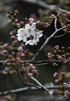 Somei Yoshino cherry blossoms are seen on a sample tree at Yasukuni Shrine in Tokyo's Chiyoda Ward on the morning of March 21, 2019. (Mainichi/Kimi Takeuchi)