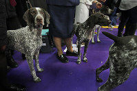 In this Feb. 13, 2018 file photo, German shorthaired pointers wait to enter the ring during the 142nd Westminster Kennel Club Dog Show in New York. (AP Photo/Seth Wenig)