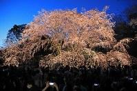 闇夜に浮かび上がる「六義園」のシダレザクラ=東京都文京区で2019年3月24日午後、梅村直承撮影
