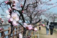 桜より1~2週間早く咲き始めるアーモンドの花=神戸市東灘区魚崎南町2の水辺の遊歩道・うおざきで、峰本浩二撮影