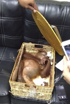 In this March 23, 2019 photo released by Natural Resources Conservation Agency of Bali (BKSDA Bali), a sedated two-year-old orangutan rests inside rattan basket following the arrest of a Russian national Andrei Zhestkov who allegedly tried to smuggle the ape out of the resort island at Ngurah Rai International Airport in Bali, Indonesia. (BKSDA Bali via AP)