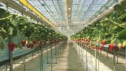 GRAのイチゴ農園=筆者撮影
