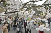 サクラが見ごろを迎え、大勢の人が訪れた皇居・乾通りの一般公開=皇居で2019年3月30日午前9時27分、藤井達也撮影