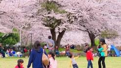 旅立ちの春、満開の桜