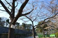 名字を間違えた「成田ぎん」のプレート(手前)がかかる桜も見上げる高さになった=名古屋市中区の名古屋城二の丸広場で2019年4月4日午後3時53分、山田泰生撮影