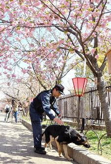 桜の植え込みに不審物がないか確認する大阪府警の警備犬=大阪市北区で2019年4月9日、村田拓也撮影