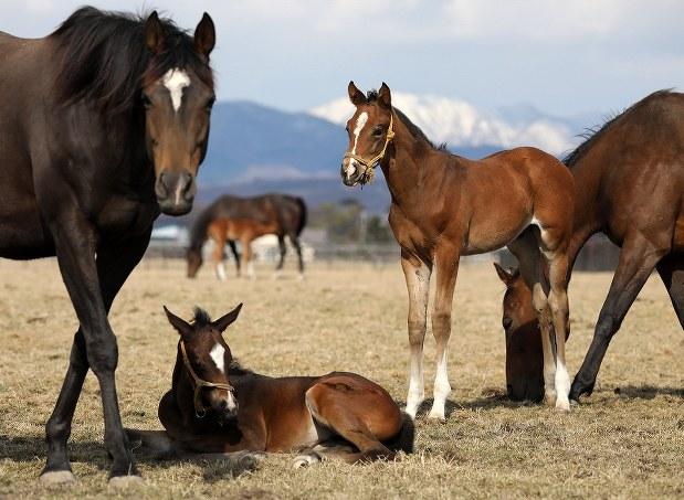 競走馬サラブレッドの出産ピーク 北海道新冠の牧場[写真特集1/5 ...
