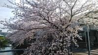 今年は長く楽しめました=名古屋市名東区で2019年4月8日午後3時49分、鮫島弘樹撮影