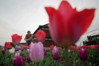 熊本地震で倒壊した自宅跡に咲くチューリップを見つめる河添ハル子さん=熊本県益城町で2019年3月28日、和田大典撮影