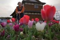 熊本地震で倒壊した自宅跡に咲いたチューリップを見つめる河添ハル子さん=熊本県益城町で2019年3月28日、和田大典撮影