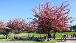 満開の八重桜の下、フランス流花見をする人たち=パリ花公園で筆者撮影