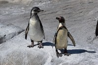 フンボルトペンギンのヒフ(左)。冒険家で物おじしない性格という=とべ動物園提供