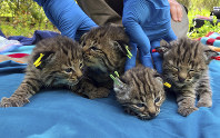 This Aptil 9, 2019 photo provided by the National Park Service shows four kittens born to a young bobcat captured, collared and released a day before a massive, deadly wildfire, in a large residential backyard in Thousand Oaks, Calif. (Ana Beatriz Cholo/National Park Service via AP)