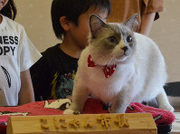 Jack the cat, who was elected the ninth mayor of the virtual city Konyan, participates in a ceremony in the Shiga Prefecture city of Konan, on April 22, 2019. (Mainichi/Kenichi Isono)
