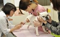 健診で採血されるフレンチブルドッグ=東京都板橋区で