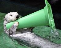 水の中で、前脚を器用に使ってパイロンで遊ぶラッコ=鳥羽水族館提供