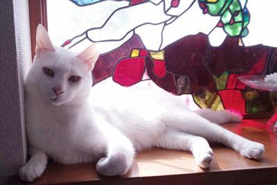 保護猫が集まるキャットカフェ「ミーシス」を卒業し、里親の家で暮らすハク=伊藤清子さん提供