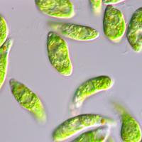 藻類のミドリムシ=ユーグレナ提供