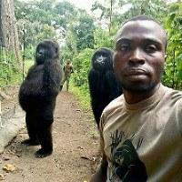 In this Thursday April 18, 2019 photo, Mathieu Shamavu, a ranger and caretaker at the Senkwekwe Center for Orphaned Mountain Gorillas poses for a photo with female orphaned gorillas Ndakazi and Ndeze in Virunga National Park, eastern Congo. (Mathieu Shamavu/Virunga National Park via AP)