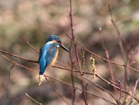 A kingfisher is seen in the Afan woodland. (Photo courtesy of the C. W. Nicol Afan Woodland Trust)