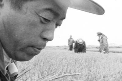 冷夏となった1993年は全国的に米が不作となった。冷害で生育が遅れた稲を刈り取る農家=北海道で