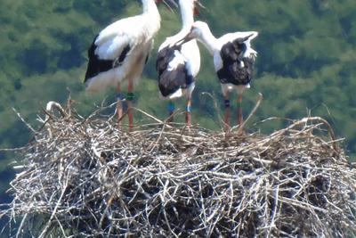 性別が判明したコウノトリのひな3羽。左端が雄=浅野由美子さん提供