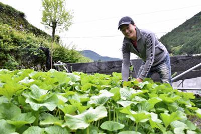 ワサビ田でワサビを収穫する白鳥義彦さん=静岡市葵区有東木で