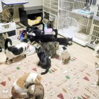「多頭飼育崩壊」した家から保護された猫たち。環境が整った清潔な部屋で暮らしながら、新しい飼い主を待っている=仙台市内で
