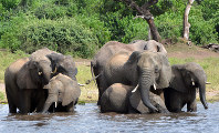 In this March 3, 2013 file photo, elephants drink water in the Chobe National Park in Botswana. (AP Photo/Charmaine Noronha)