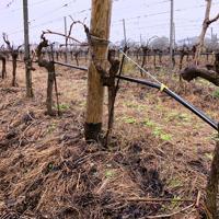 グラッパの原料となるワイン用ブドウの木。ブドウの摘み取りが終わる9月ごろにグラッパの仕込みは始まる=ローマ近郊ネットゥーノで