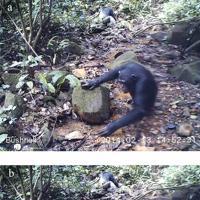 沢にいるカニを食べるチンパンジー(オスの子供)=京都大リーディング大学院の研究員、カテリーナ・コープスさん提供