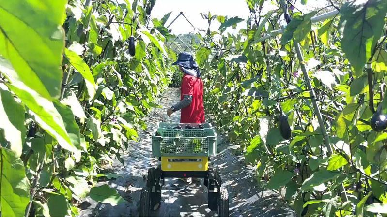 農業者について収穫したナスを運搬する「マイ・ドンキー」(栃木県茂木町で18年7月、日本総研撮影)
