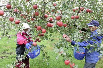 ふじを収穫する農家=青森県弘前市で2018年10月
