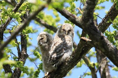 アファンの森で今年生まれたフクロウのヒナ=5月16日撮影