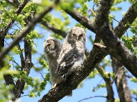Owl chicks born in spring 2019 are seen in the Afan Woodlands. (Photo courtesy of the C. W. Nicol Afan Woodland Trust)