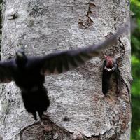 巣から飛び立った親を見送るクマゲラのひな=北海道石狩山地で2019年6月10日、貝塚太一撮影