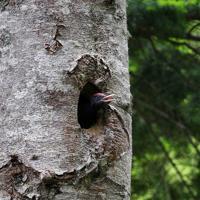 巣穴から顔を出して、親を呼ぶクマゲラのひな=北海道石狩山地で2019年6月10日、貝塚太一撮影