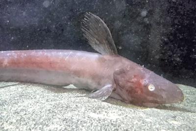 シャチブリ=沼津港深海水族館提供