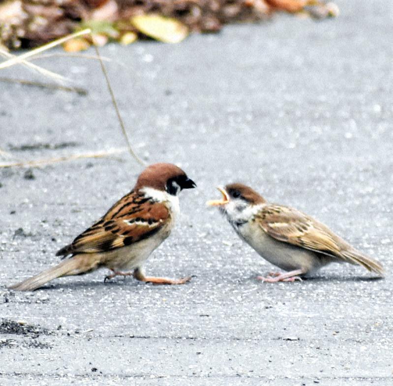 が 黄色い くちばし ムクドリ|日本の鳥百科|サントリーの愛鳥活動