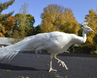 In this October 2016 photo provided by the Utica Zoo, a white peacock named Merlin walks at the zoo in Utica, N.Y. (Utica Zoo via AP)